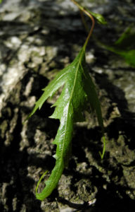 Haenge Birke Blatt gruen Rinde weiss Betula pendula 13