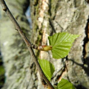 Haenge Birke Blatt gruen Betula pendula 01