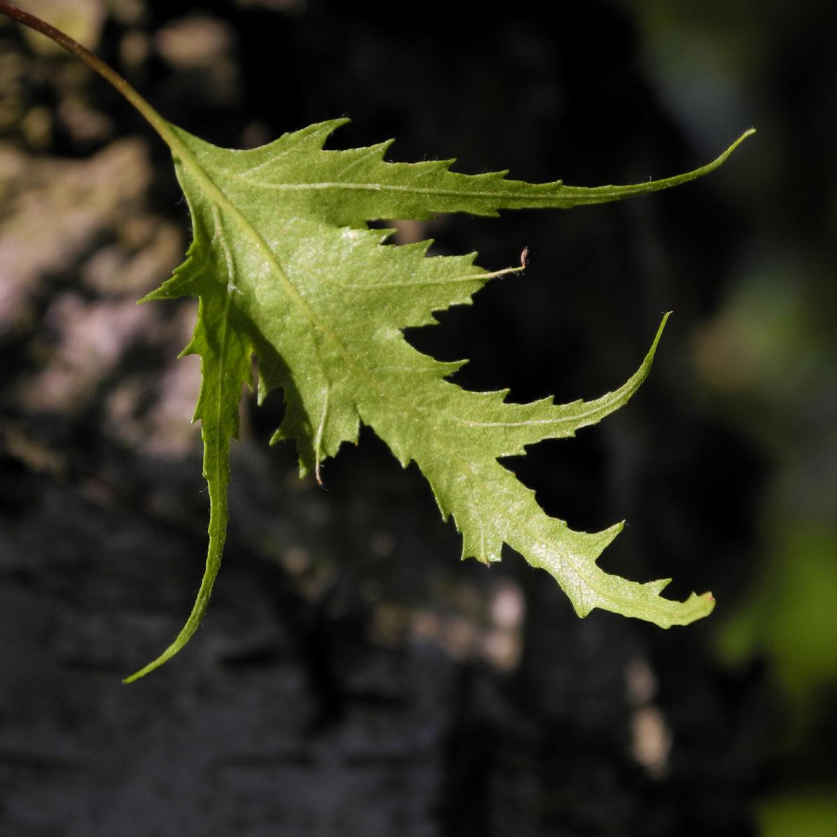Haenge Birke Blatt gruen Betula pendula