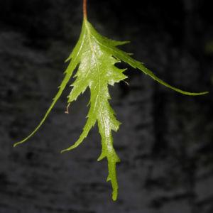 Haenge Birke Blatt gruen Betula pendula 03