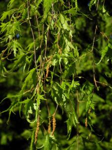 Haenge Birke Blatt gruen Betula pendula 04