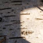Haenge Birke Bluete gelb Betula pendula 09
