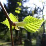 Bild:  Hänge Birke Blatt Blüte grün Betula pendula