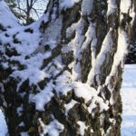 Haenge Birke Rinde Schnee Betula pendula 02