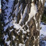 Bild: Hänge-Birke Rinde Schnee weiß Betula pendula