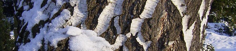Anklicken um das ganze Bild zu sehen Hänge-Birke Rinde Schnee weiß Betula pendula