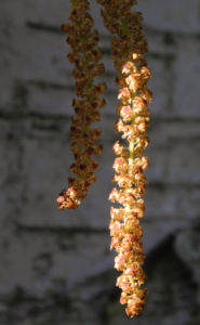 Haenge Birke Rinde weiss Frucht braun Betula pendula 04