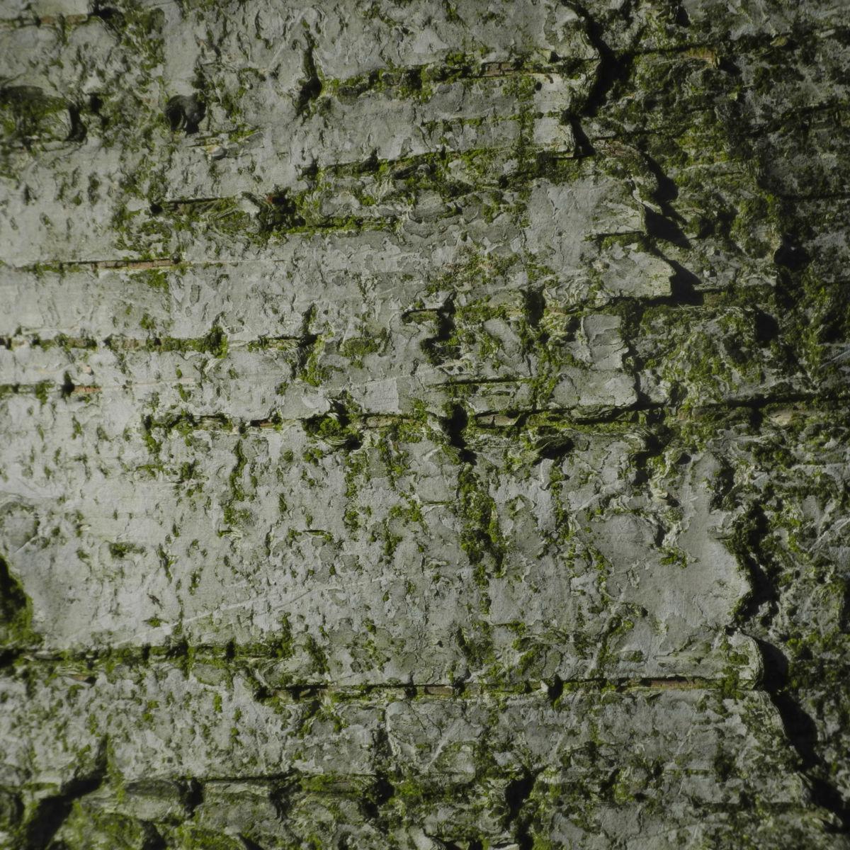 Haenge Birke Rinde weiss Betula pendula