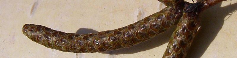 Anklicken um das ganze Bild zu sehen Hänge-Birke Rinde weiß Betula pendula