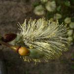 Haengekaetzchenweide Bluete Salix caprea Kilmarnock 01