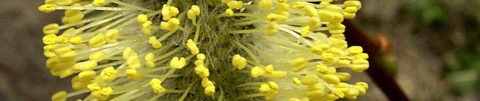 Anklicken um das ganze Bild zu sehen Hängekätzchenweide Blüte Salix caprea kilmarnock