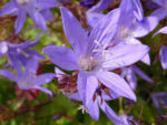 Haengepolster Glockenblume Bluete blau Campanula poscharskyana 01