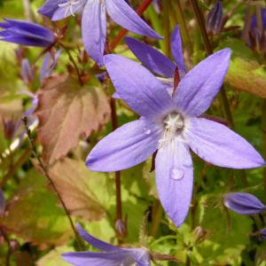 Haengepolster Glockenblume Bluete blau Campanula poscharskyana 04