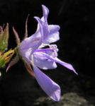 Haengepolster Glockenblume Bluete hellblau Campanula poscharskyana 07