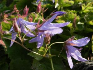 Haengepolster Glockenblume Bluete hellblau Campanula poscharskyana 10