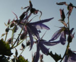 Bild: Hängepolster-Glockenblume Blüte hellblau Campanula poscharskyana