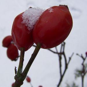 Hagebutten Schnee Rosa 03