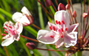 Hahnenfuss Igelschlauch Bluete weiss pink Baldellia ranunculoides 01