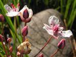 Hahnenfuss Igelschlauch Bluete weiss pink Baldellia ranunculoides 02