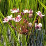 Hahnenfuss Igelschlauch Bluete weiss pink Baldellia ranunculoides 03