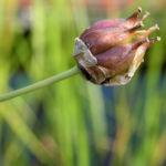 Hahnenfuss Igelschlauch Bluete weiss pink Baldellia ranunculoides 04