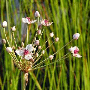 Bild: Hahnenfuss Igelschlauch Bluete weiss pink Baldellia ranunculoides