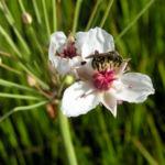 Hahnenfuss Igelschlauch Bluete weiss pink Baldellia ranunculoides 08
