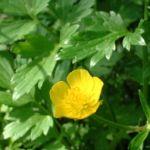 Bild: Scharfer Hahnenfuß Blüte gelb Ranunculus acris