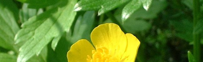 Anklicken um das ganze Bild zu sehen Scharfer Hahnenfuß Blüte gelb Ranunculus acris