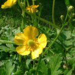 Hahnenfuss Ranunculus acris 04