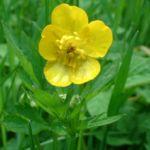 Hahnenfuss Ranunculus acris 05