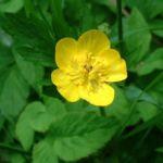 Hahnenfuss Ranunculus acris 06