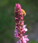 Hain Salbei Bluete pink Salvia nemorosa 01