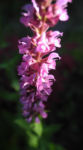 Bild: Hain-Salbei Blüte pink Salvia nemorosa