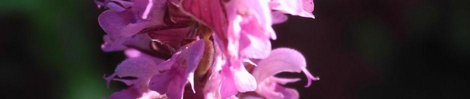 hain-salbei-bluete-pink-salvia-nemorosa