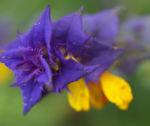 Hain Wachtelweizen Blatt blau Bluete gelb Melampyrum nemorosum 04