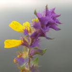 Hain Wachtelweizen Blatt blau Bluete gelb Melampyrum nemorosum 05