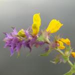 Hain Wachtelweizen Blatt blau Bluete gelb Melampyrum nemorosum 07