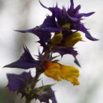 Hain Wachtelweizen Blatt blau Bluete gelb Melampyrum nemorosum 08