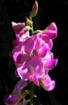 Hairy Darling Pea Bluete pink Swainsona greyana 08