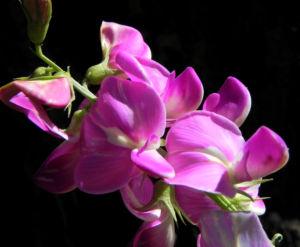 Hairy Darling Pea Bluete pink Swainsona greyana 09
