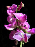 Hairy Darling Pea Bluete pink Swainsona greyana 10