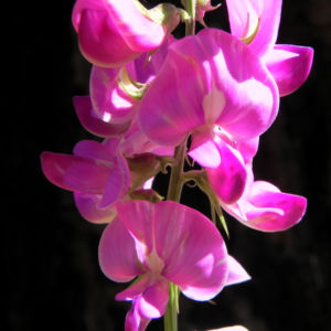 Hairy Darling Pea Bluete pink Swainsona greyana 13