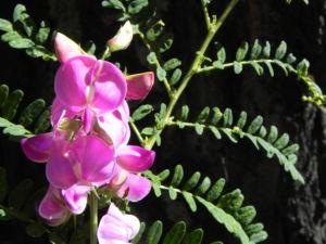 Hairy Darling Pea Bluete pink Swainsona greyana 16