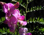 Bild: Hairy-Darling-Pea Blüte pink Swainsona greyana