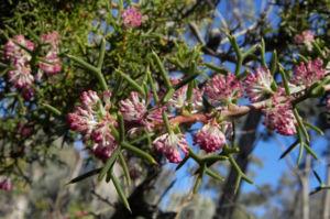 Hakea Bluete rosa Hakea bipinnatifida 03 1