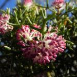 Hakea Bluete rosa Hakea bipinnatifida 04 1