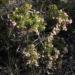 Zurück zum kompletten Bilderset Hakea Blüte rosa Hakea bipinnatifida