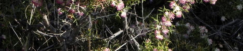hakea-bluete-rosa-hakea-bipinnatifida