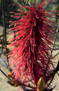 Bild: Hakea Bluete rosa Hakea bucculenta